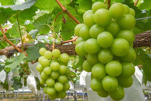grape_shine.jpg